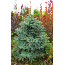 Picea pungens Glauca Kaibab